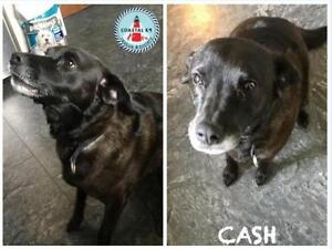 "Adult Male Dog - Labrador Retriever: ""Cash"""