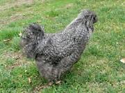 Partridge Eggs