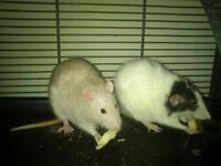 """Adult Female Small & Furry - Rat: """"Honeybear & Panda"""""""