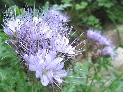 Rainfarn Blumen (300 Lila Rainfarn Spitzen Fiddleneck Phacelia Blumensamen)