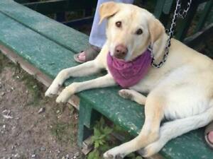 "Adult Female Dog - Labrador Retriever: ""Layla"""