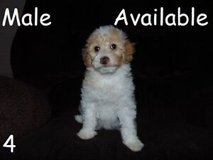Mini F1B Goldendoodles - ONLY 2 MALES LEFT - Ready to go home