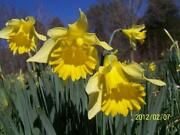 Narcissus Bulbs