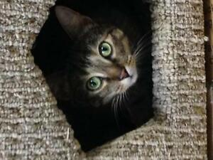 """Adult Female Cat - Tabby - Brown: """"Stella and Tumble"""" London Ontario image 1"""