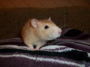 "Young Female Small & Furry - Rat: ""Mielle"""