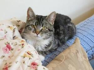 """Young Female Cat - Domestic Short Hair: """"Mittens"""""""