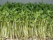 Cress Seeds