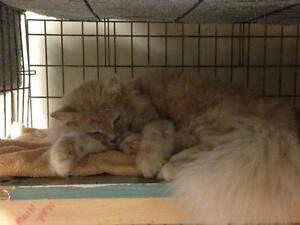 "Adult Female Cat - Domestic Long Hair - orange: ""Santa Fe"""