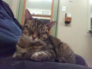 "Young Female Cat - Tabby: ""Annika"""