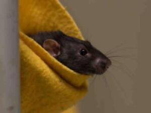 """Adult Male Small & Furry - Rat: """"OLIVER"""""""