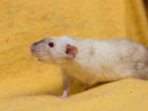 """Adult Male Small & Furry - Rat: """"FINN"""""""