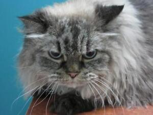 """Adult Male Cat - Persian: """"Clyde"""""""