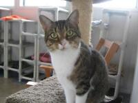 "Young Female Cat - Domestic Short Hair: ""Suzie"""