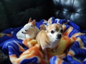 "Senior Male Dog - Chihuahua: ""Veseli (Bonded pair with Sula)"""