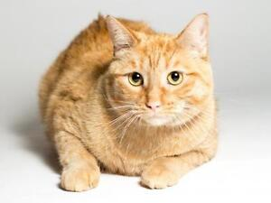 """Young Male Cat - Domestic Short Hair (Orange): """"Theodore"""""""