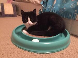 "Young Male Cat - Domestic Short Hair-black and white: ""Charlie"""