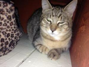 Young Male  - Tabby - Brown-Tabby - buff