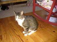 "Adult Male Cat - Domestic Short Hair: ""Drake"""