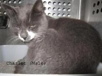 "Adult Male Cat - Domestic Short Hair - gray and white: ""Charlot"""