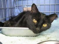 "Adult Male Cat - Domestic Short Hair: ""Spud"""