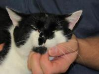"""Adult Male Cat - Domestic Short Hair-black and white: """"Bomber"""""""