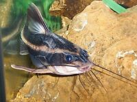 "striped raphael catfish Squeaking catfish 5"" for tropical fish tank aquarium kofh"
