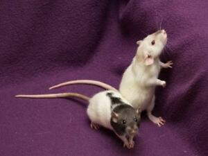 """Young Female Small & Furry - Rat: """"Luna & Eclipse"""""""