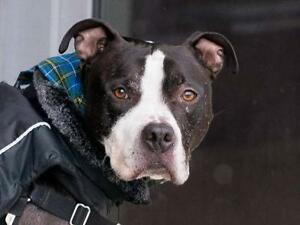 "Senior Male Dog - American Staffordshire Terrier: ""TY"""