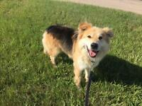 "Adult Male Dog - Shepherd-Collie: ""Fluffy"""