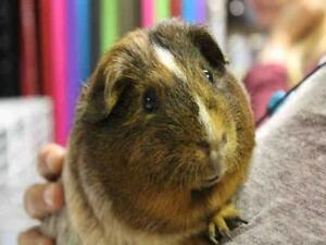 "Adult Male Small & Furry - Guinea Pig: ""COMET"""