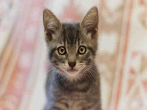 """Baby Male Cat - Domestic Short Hair: """"CHARLIE"""""""