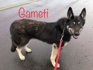 "Young Female Dog - Shepherd: ""Gameti"""