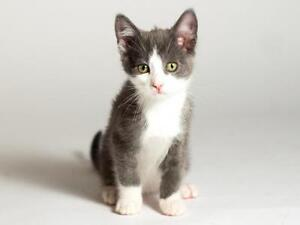 "Baby Male Cat - Domestic Short Hair (Gray & White): ""Parker"""
