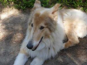 "Adult Male Dog - Collie: ""Jake"""