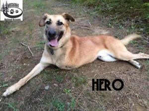 "Adult Male Dog - Shepherd: ""Hero - Survivor!"""