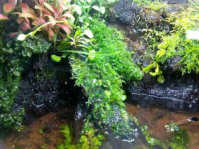 Musgo vivo verde natural moss plantas naturales paludario vivario ranas peces