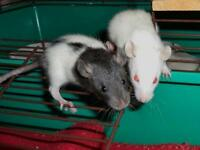 """Baby Male Small & Furry - Rat: """"Baby Rats (Males)"""""""
