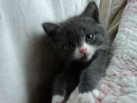 "Baby Male Cat - Domestic Short Hair - gray and white: ""Parker"""