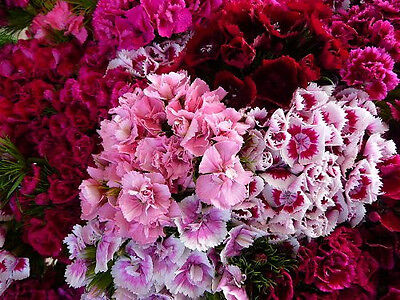 500 MIXED SWEET WILLIAM Dianthus Flower Seeds + Gift - Sweet William Dianthus