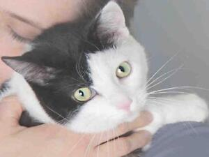 """Young Female Cat - Domestic Short Hair: """"KALE"""""""