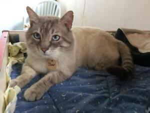 """Young Male Cat - Siamese-Domestic Short Hair: """"Thor"""""""