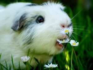 Guinea pig hutch wanted for loving little boy Acacia Ridge Brisbane South West Preview