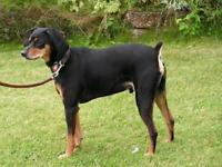 "Adult Male Dog - German Pinscher: ""Tonka"""