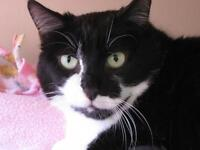 "Adult Female Cat - Domestic Short Hair: ""Xena"""