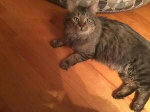 "Adult Male Cat - Domestic Long Hair: ""Fluffy"""