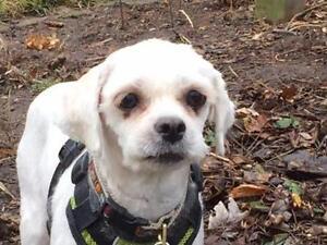 "Adult Female Dog - Lhasa Apso: ""Magnolia"""