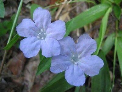 100 BLUE PURPLE FRINGELEAF PETUNIA Wild Ruellia Humilis Flower Seeds *Comb S/H ()