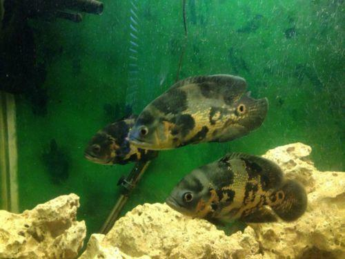 Catfish live fish ebay for Ebay live fish