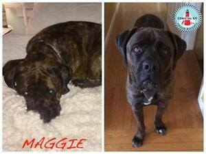 "Senior Female Dog - Bullmastiff: ""Maggie"""