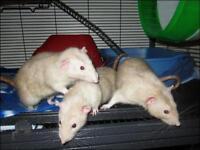 """Adult Male Small & Furry - Rat: """"Nuki, Toby & Despareaux"""""""